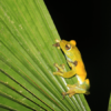 Mindo Frog