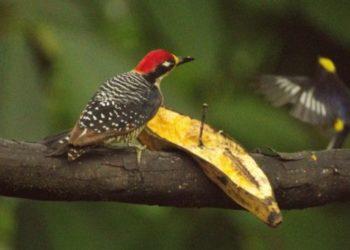 Black cheeked Woodpecker (Melanerpes Pucherani)