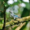 Blue gray Tanager