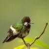 Green Thorntail (Discosura conversii)