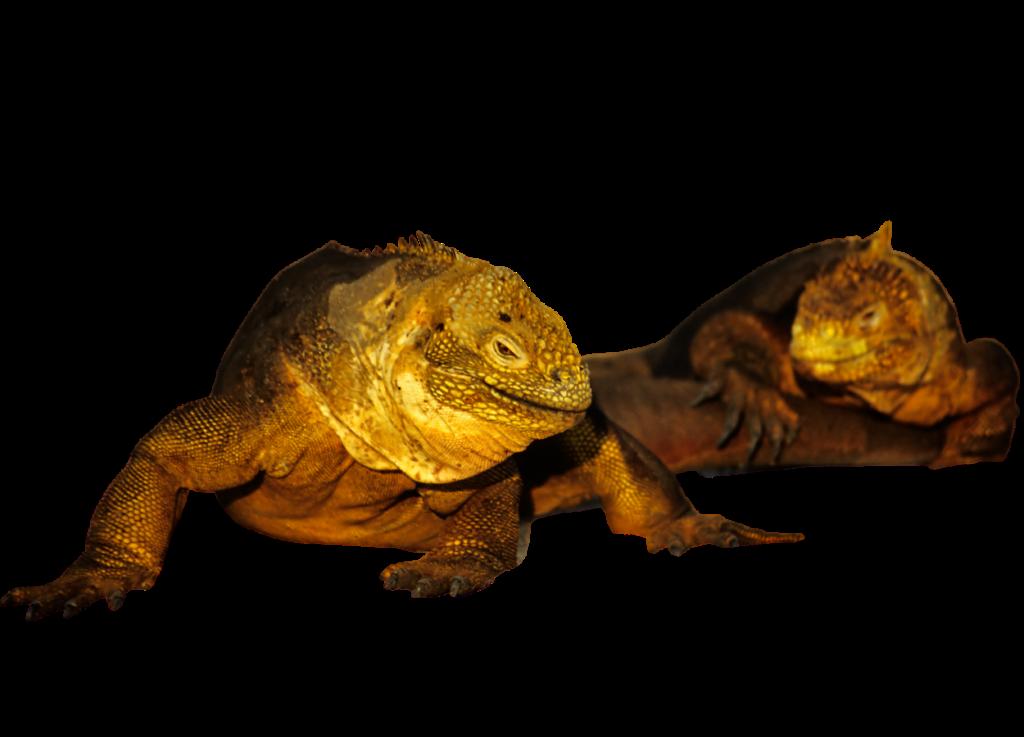 Land Iguana PNG
