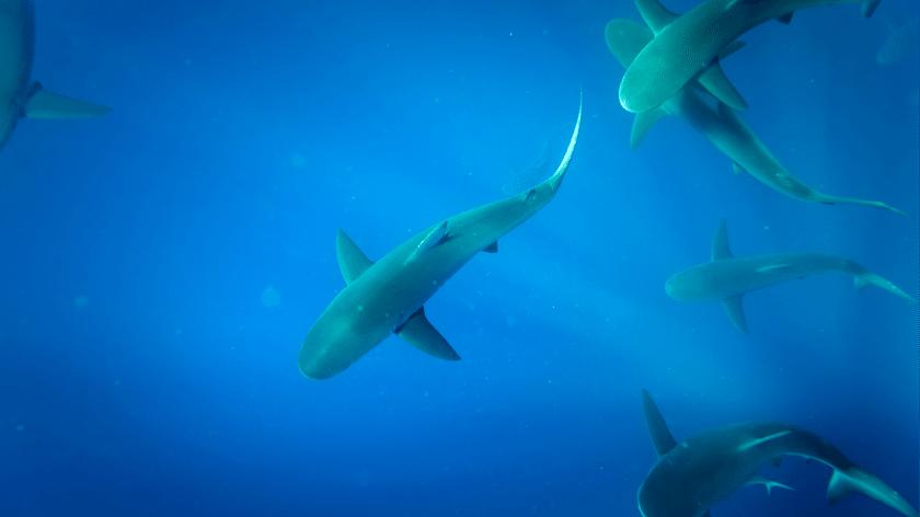 Sharks Galapagos