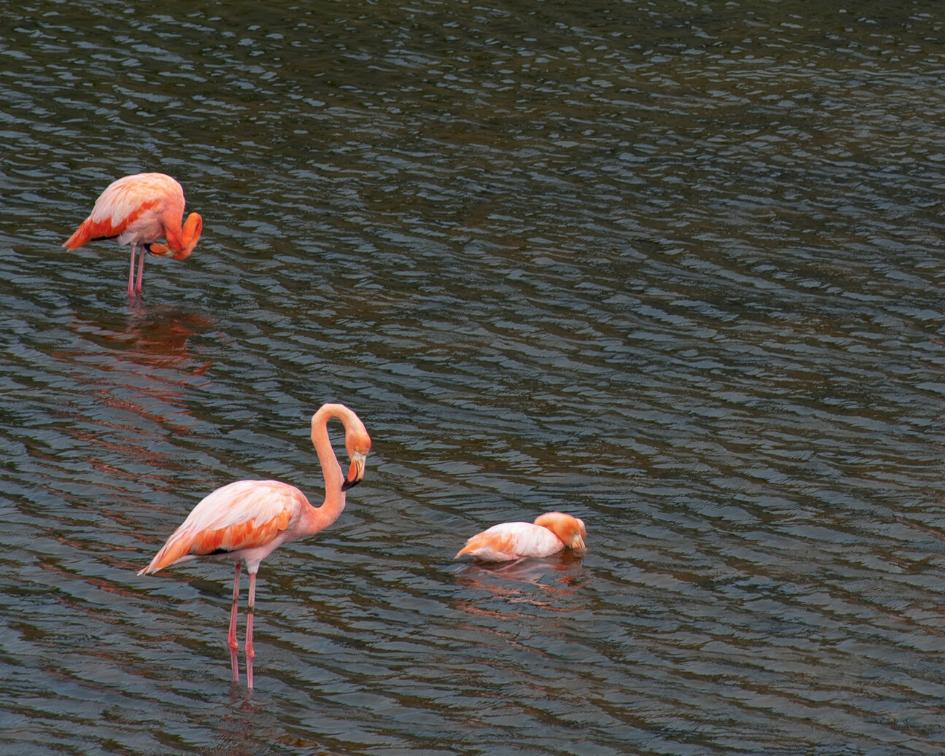 Flamingos Isabela Wetlands