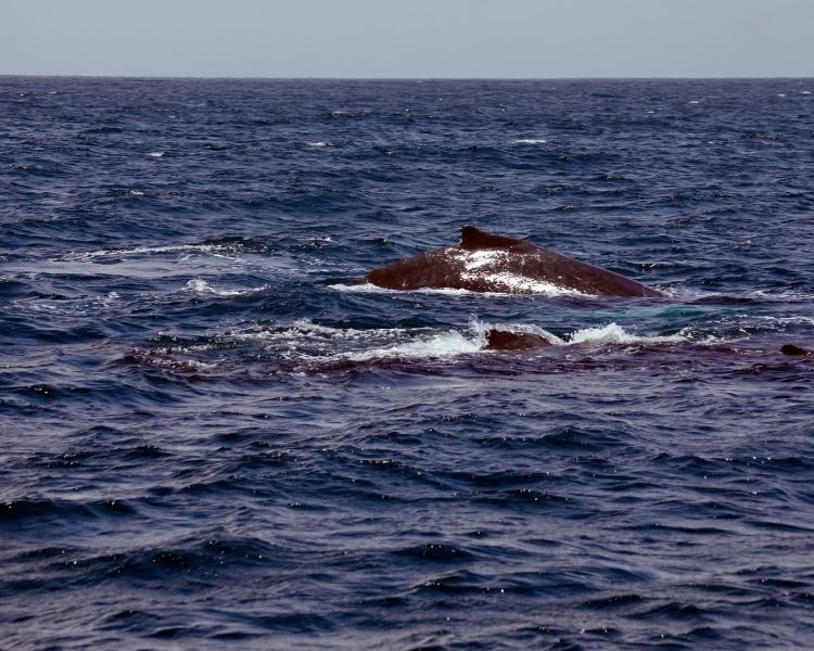 Humpback Whale Puerto Lopez