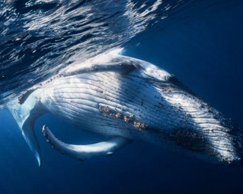 Humpback Whale Ecuador